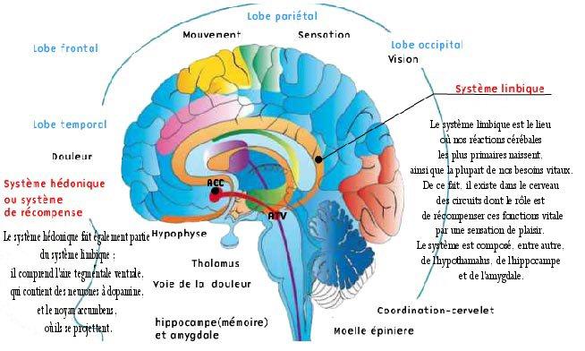 Cerveau-SNC complet
