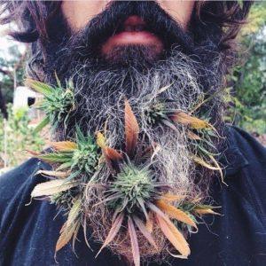 cannabis-barbe