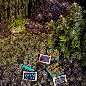 cannabis-marcher