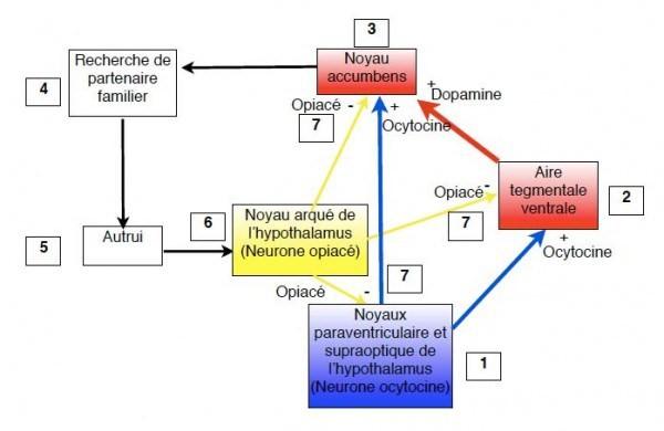 Ocytocine-dep affective